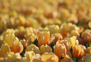 Tulpen_Holland_02