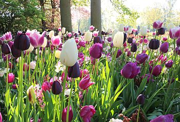 Tulpen_Holland_04