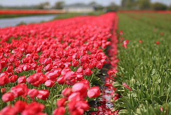 Tulpen_Holland_06